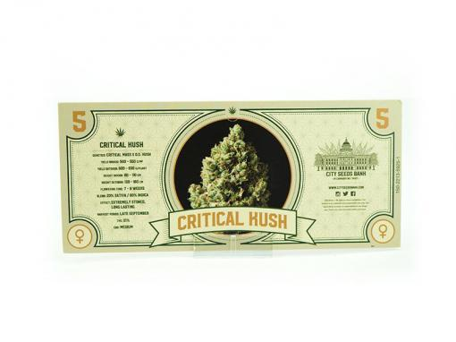 Critical Kush Feminised