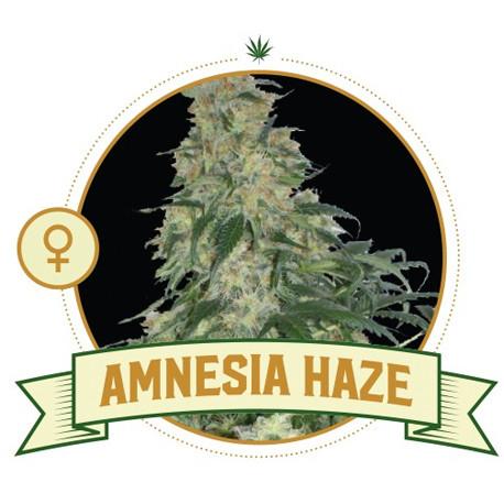 Amnesia Haze Feminized