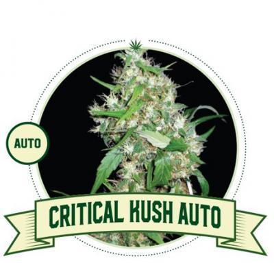 Critical Kush Auto