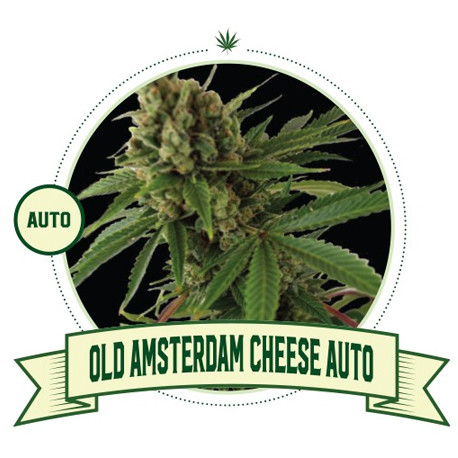 Old Amsterdam Cheese Cannabis Seeds