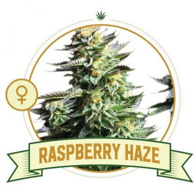 Raspberry Haze Cannabis Seeds