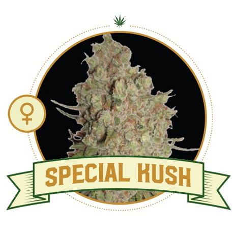 Special Kush Cannabis Seeds