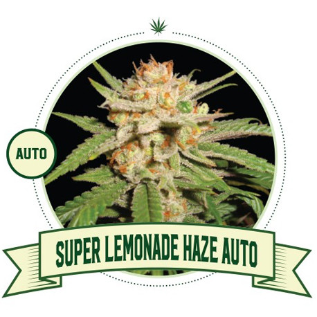 Super Lemonade Haze Cannabis Seeds