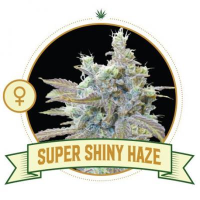 Super Shiny Haze Cannabis Seeds