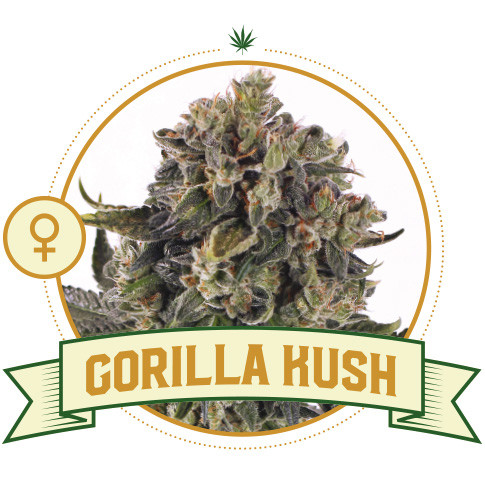 Gorilla Kush Feminized Cannabis Seeds