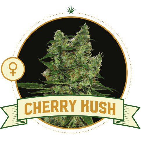 Cherry Kush Feminized Cannabis Seeds