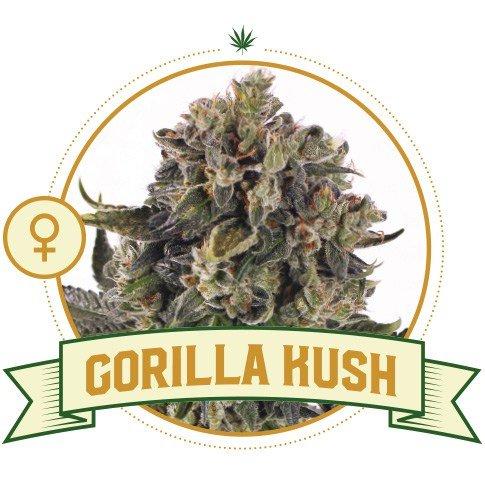 Gorilla Kush Feminized Cannabis Seeds