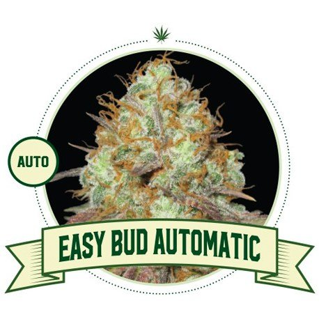 Easy Bud Automatic Cannabis Seeds