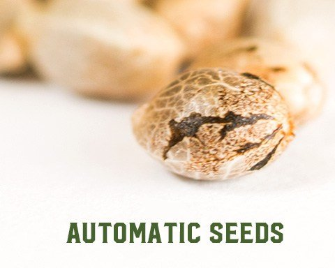 how to grow automatic cannabis seeds