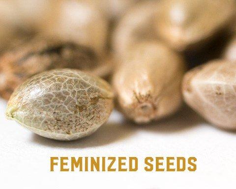 how to make feminized seeds