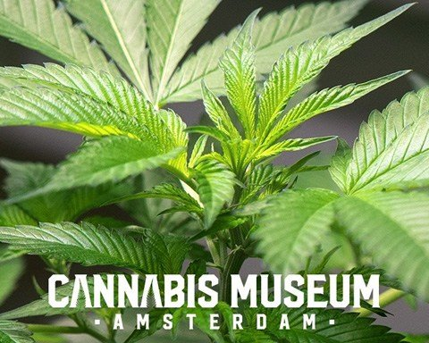 Visit the Cannabis Museum Amsterdam