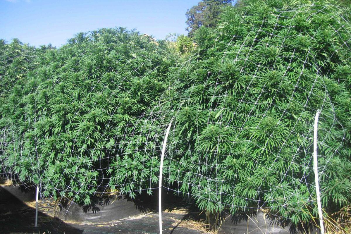Huge Cannabis plants